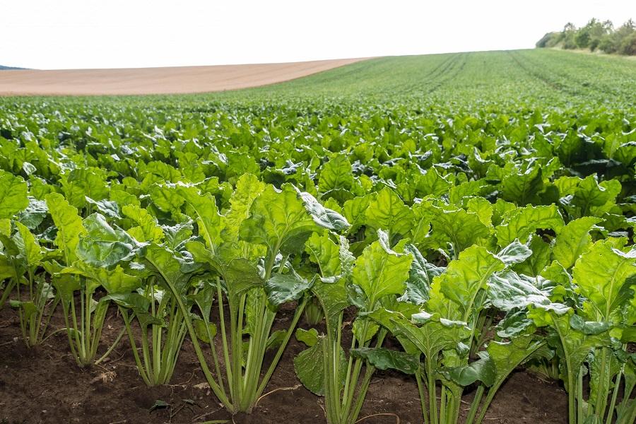 Bio éthanol pour Flam'In fabriqué à partir de betteraves sucrières produites en France - Aqua Feu